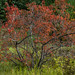 Red Maple (late stage colour)