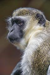 Profile of a macaque