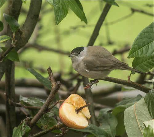 Blackcap with apple