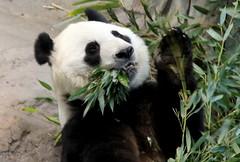 Cute Panda-bear