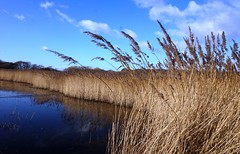 Reedbeds by Norton Priory, Pagham Harbour 3