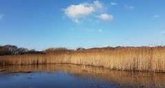 Lagoon and reeds by Norton Priory, Pagham Harbour 5