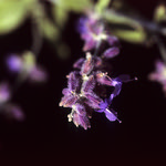 Velvia Purple  (Velvia 100)