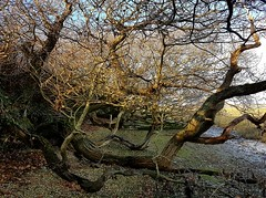 Tree branches on west side of Pagham Harbour 1