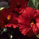 Velvia Hibiscus (Velvia 100)
