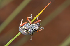 Weevil on a grasstree frond