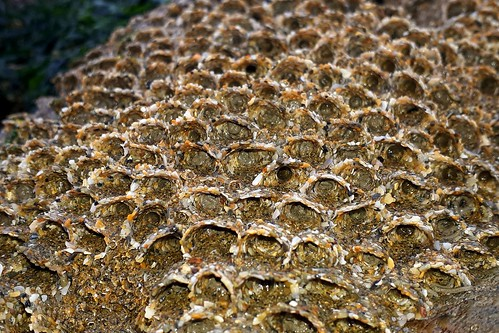 Honeycomb Reef Worm - (Sabellaria alveolata)