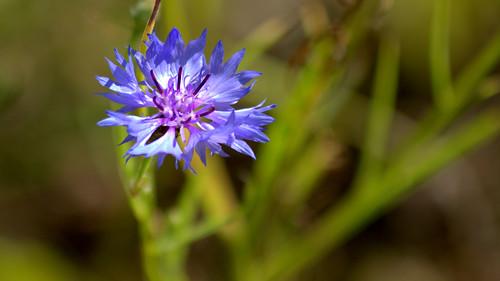 centaurea cyanus o azulejo