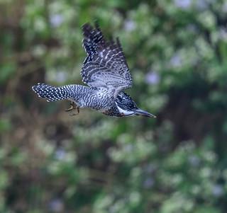 CrestedKingfisher-6911.jpg