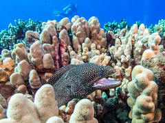 Spotted Eel with Diver