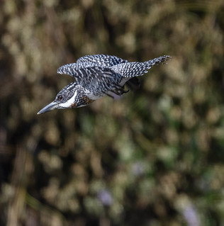 CrestedKingfisher-7225.jpg