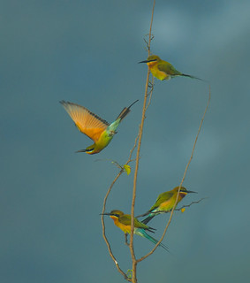 Blue Tailed beeeaters