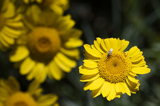 Insect on Daisy