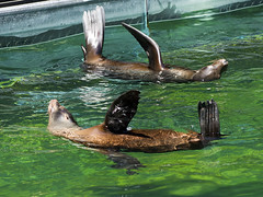 Memphis Zoo 08-29-2019 - California Sea Lions 13