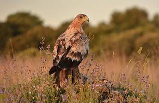 Joven de Águila Imperial
