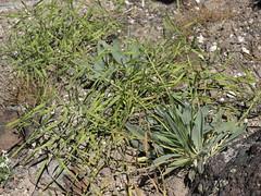 daggerpod, Phoenicaulis cheiranthoides