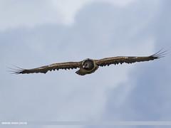 Lammergeier (Gypaetus barbatus)