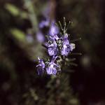 Rosemary in Velvia  (Velvia 100)