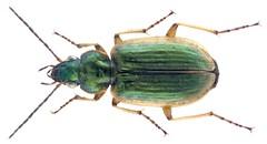 Agonum marginatum (Linnaeus, 1758)