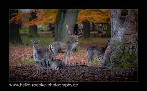 Damwild / fallow deer (dama dama)