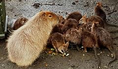 Zoo, Capybara, Hydrochoerus hydrochaeris
