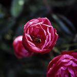 Bee in a Basket  (Velvia 100)