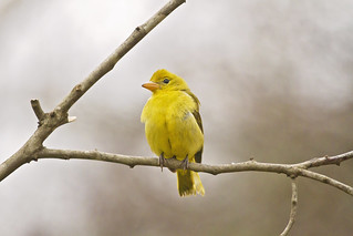 winter female tanager 3