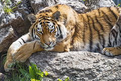 Tiger lying down and posing on the rock