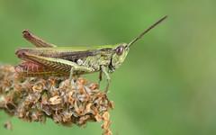 Chorthippus dorsatus male