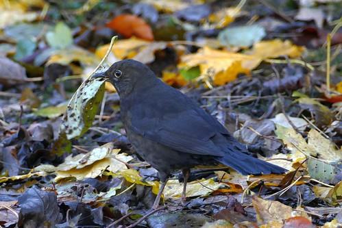 Blackbird looking for something edible
