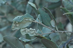 Dryomyia lichtensteinii