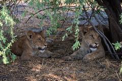 Löwejunge / Lion Cubs