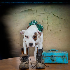 Pit Bull Mixed Breed Puppy Wearing Welders Glasses and Work Boots