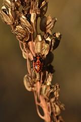 Spilostethus pandurus nymph