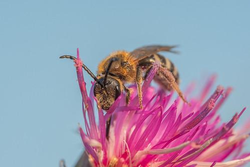 Biene (unbestimmt) (Apidae indet.)