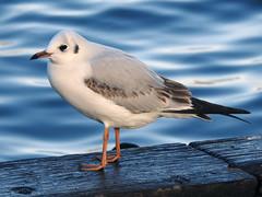 Birds- Gulls and Terns