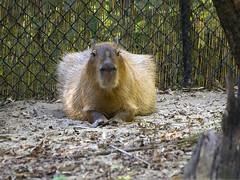 Memphis Zoo 08-29-2019 - Capybera 3