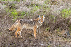 Coyote Near the Corral in Santa Teresa County Park