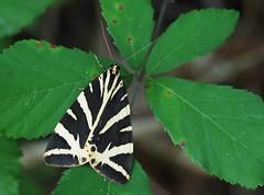 Écaille chinée (Euplagia quadripunctaria), Le Collet-de-Dèze, Lozère, France