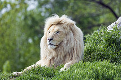 Male white lion in a nice setting
