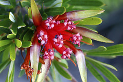 Mountain Devil flower - Lambertia formosa