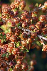 Fresh fruit Tea tree - Leptospermum