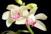 Photo:[Miyazaki, Japan] Phaius flavus fma. semi-alba, punctatus 'Hyugaryusei - 日向流星 #1' (Blume) Lindl., Gen. Sp. Orchid. Pl.: 128 (1831) By sunoochi