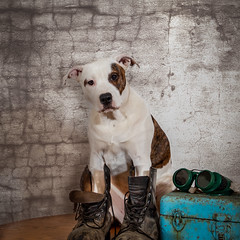 Pit Bull Mixed Breed Puppy With  Welders Glasses and Work Boots