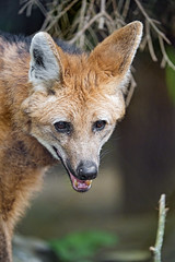 Portrait of a friendly maned wolf