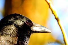 CARRION CROW Corvus corone