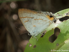 Hypolycaena thecloides theclodes (Brown Tit)