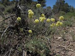 butterballs, Eriogonum ovalifolium var. ovalifolium