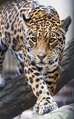 Jaguaress walking carefully