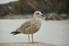 Juvenile Herring Gull (Larus argentatus)